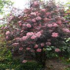 Sambucus Black Lace