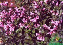 Weigela Nana Purpurea
