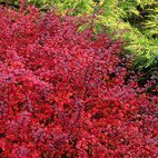 Berberis Darts Red Lady