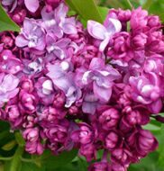 Syringa vulgaris Paul Thirion