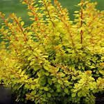 Berberis Golden Dream