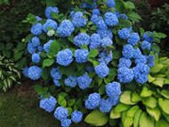 Hydrangea Endless Summer Blue
