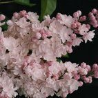Syringa Beaty of  Moscov