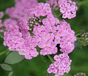 Achillea Litas Beauty