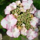 Hydrangea macr. Love You Kiss