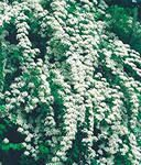 Spiraea nipponica White Carpet