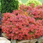 Berberis Admiration