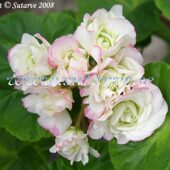 84 Happy Appleblossom Rosebud