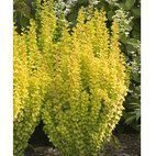 Berberis Golden Rocket