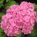 Hydrangea macr.You and  mi Tygese