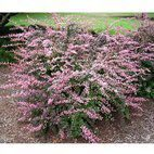 Berberis Pink Queen