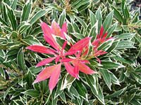Pieris japonica Forest Flame 2
