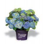 Hydrangea macr. Forever and Ever Blue