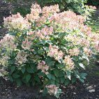 Hydrangea pan. Early Sensation