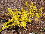 Berberis Golden Carpet